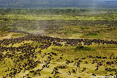 More than 500,000 Wildebeast graze in the serengeti