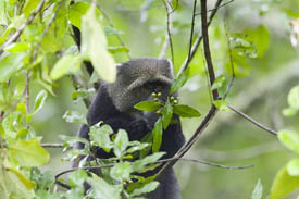 A blue monkey eating fruit off the trees