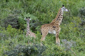 Two giraffes at the Arusha park in Tanzania