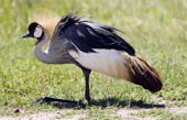 The Crowned crane is the national bird of Tanzania