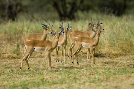 Impalas of Tarangire National Park