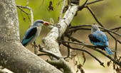Woodland Kingfishers eat a dragonfly